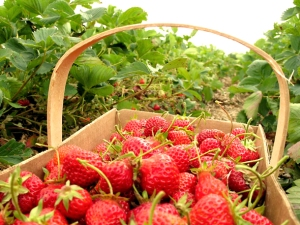article_590_strawberries